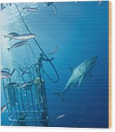 Male Great White Shark And Divers Wood Print