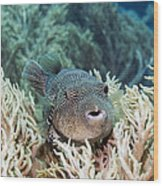 Map Pufferfish Wood Print