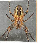 Marbled Orb Weaver Spider Wood Print