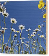 Marguerite Leucanthemum Vulgare Wood Print