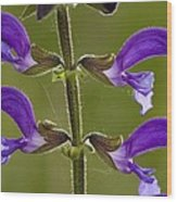 Meadow Clary (salvia Pratensis) Wood Print