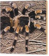Mexican Red-legged Tarantula Wood Print