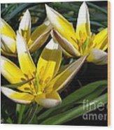 Mini Botanical Tulip Named Dasystemon Tarda Wood Print