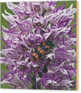 Monkey Orchid (orchis Simia) Wood Print