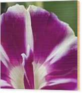 Morning Glory (ipomoea Purpurea) Wood Print