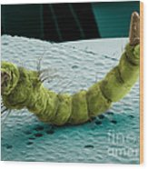Mosquito Larva, Sem Wood Print