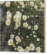 Mountain Avens (dryas Octopetala) Wood Print