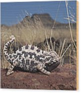 Namaqua Chameleon Chamaeleo Namaquensis Wood Print
