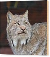 North American Lynx Wood Print by Paul Fell