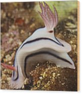 Nudibranch Feeding On The Reef, Fiji Wood Print