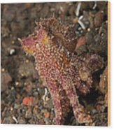 Ocellate Octopus With Two Blue Spots Wood Print