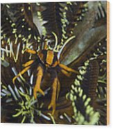 Orange And Brown Elegant Squat Lobster Wood Print