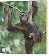 Orangutan Pongo Pygmaeus Adult Sitting Wood Print