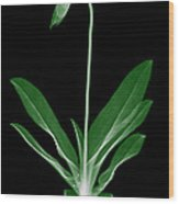 Orchid Plant X-ray Wood Print