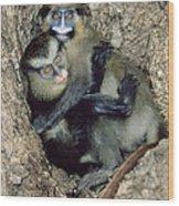 Orphaned Guenons Wood Print