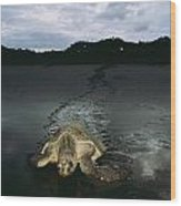 Pacific Ridley Turtle Lepidochelys Wood Print