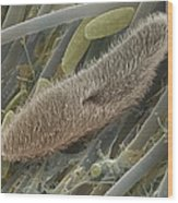 Paramecium Sp. Protozoan, Sem Wood Print by Power And Syred