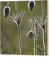 Pasque Flower (pulsatilla) Wood Print