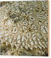 Peacock Sole On The Sea Bed Wood Print