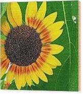 Peeping Sunflower Wood Print