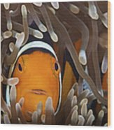 Percula Clownfish In Its Host Anemone Wood Print