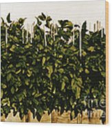 Photoperiodicity In Soybean Plants Wood Print by Science Source
