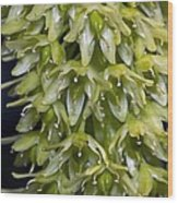 Pineapple Lily (eucomis Autumnalis) Wood Print