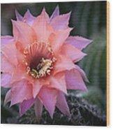 Pink Echinopsis Wood Print