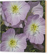 Pink Evening Primrose Wildflowers Wood Print