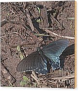 Pipevine Swallowtail Butterfly Wood Print
