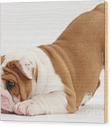 Playful Bulldog Pup Wood Print