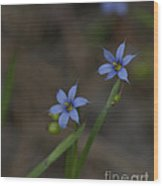 Pointed Blue-eyed Grass Wood Print