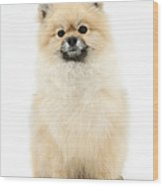 Pomeranian Dog Wood Print