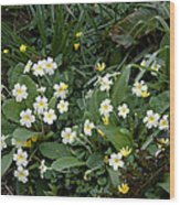 Primroses (primula Vulgaris) Wood Print by Dr Keith Wheeler
