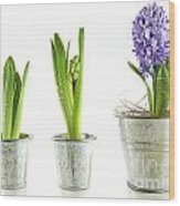 Purple Hyacinth In Garden Pots On White Wood Print by Sandra Cunningham