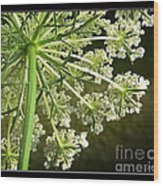 Queen Ann's Lace Wood Print