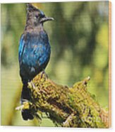 Quinault Lake Stellar Jay Wood Print