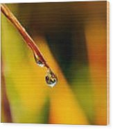 Raindrop On Strelitzia Reginae Wood Print