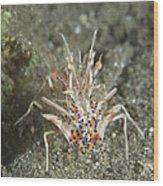 Rare Tiger Shrimp On Volcanic Sand Wood Print