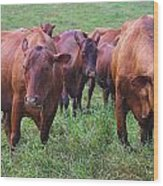 Red Cattle In Jamaica Wood Print