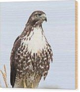 Red-tail Hawk  Wood Print