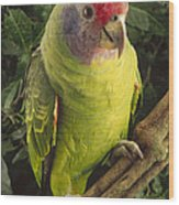Red-tailed Amazon Amazona Brasiliensis Wood Print
