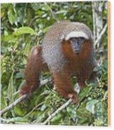 Red Titi Monkey Wood Print