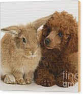 Red Toy Poodle And Rabbit Wood Print