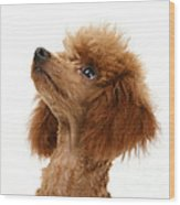 Red Toy Poodle Wood Print