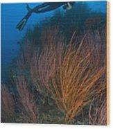 Red Whip Fan Coral With Diver, Papua Wood Print