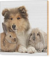 Rough Collie Pup With Two Young Rabbits Wood Print