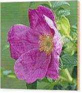 Salt Spray Rose Flower (rosa Rugosa) Wood Print