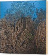Sea Fan Seascape, Belize Wood Print