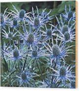 Sea Holly (eryngium X Oliverianum) Wood Print